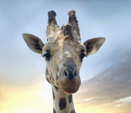 Сторона жирафа Стоковые Фотографии RF
