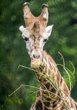Сторона жирафа Стоковые Изображения RF
