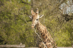 Сторона жирафа Стоковое Фото