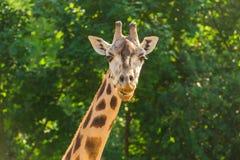 Сторона жирафа Стоковое Изображение RF
