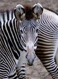 Сторона зебры Стоковые Изображения