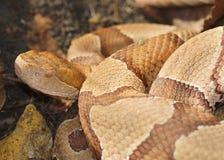 Сторона змейки Copperhead Стоковое Фото