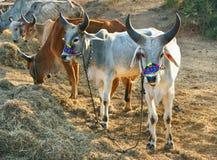 Сторона и верхнее тело индийской коровы Стоковое Изображение RF
