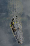 Сторона и торс аллигатора Стоковое Изображение RF