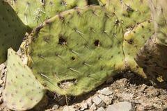 Сторона кактуса шиповатой груши Стоковая Фотография
