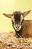 Сторона козы младенца Брайна Стоковое Фото
