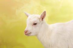 Сторона козы младенца Стоковое фото RF