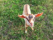 Сторона козы Стоковое Изображение