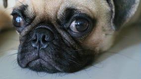 Сторона конца-вверх милой собаки мопса акции видеоматериалы