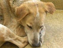 Сторона коричневый и белый спать бездомной собаки цвета Стоковая Фотография RF