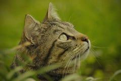 сторона кота отечественная Стоковое Изображение RF