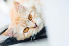Сторона кота с желтыми глазами стоковые изображения