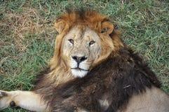 Сторона льва Стоковая Фотография RF