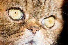 Сторона макроса кота милого tabby великобританская, конец вверх Стоковое Фото