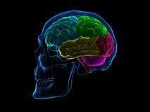 Сторона мозга рентгеновского снимка черепа стоковое изображение
