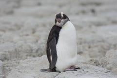 Сторона моря Kaikoura пингвина стоковые фото