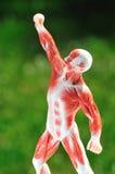 сторона мышцы человека Стоковая Фотография RF