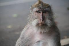 Сторона обезьяны, Ubud Стоковое Изображение RF