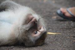 Сторона обезьяны, Ubud Стоковое Изображение