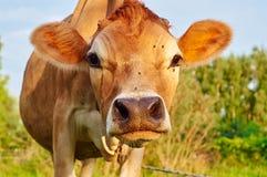 Сторона обнюхивать коровы Стоковое Изображение