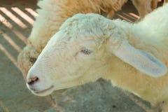 Сторона овцы в клетке Стоковые Фото