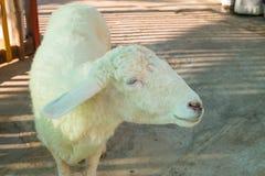 Сторона овцы в клетке Стоковые Изображения RF