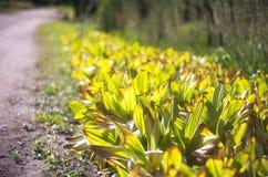 Сторона дороги покрытой заводами тюльпана Стоковая Фотография
