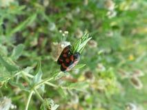 Сторона пар жука волдыря отдыхая - мимо - встаньте на сторону на молодых зеленых лист Стоковое Фото