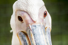 Сторона пеликана Стоковые Фотографии RF