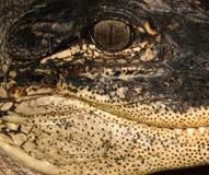 сторона портрета аллигатора Стоковое Изображение
