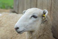 Сторона портрета белых овец отдыхая близко вверх Стоковое Изображение