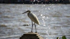 Сторона реки Egret стоковая фотография