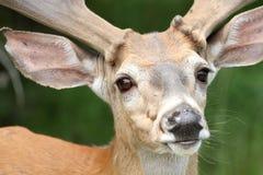 сторона самеца оленя Стоковая Фотография