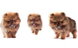 Сторона 3 симпатичных pomeranian щенят собаки стоя и смотря Стоковое Фото