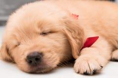 Сторона спать конца-вверх одного щенка золотого retriever месяца старого Стоковая Фотография RF