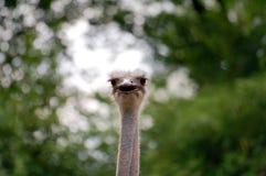 Сторона страуса с клювом открытым Стоковое фото RF