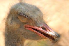 Сторона страуса Стоковые Фотографии RF