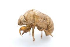 сторона съемки цикады Стоковое Изображение