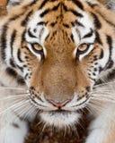 Сторона тигра стоковое изображение