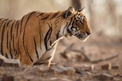 Сторона тигров Стоковые Фотографии RF
