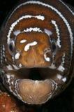 Сторона угря мурен зебры Стоковое фото RF