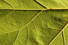Сторона фото нижняя, зеленый цвет, свежие лист, предпосылка Стоковые Фото