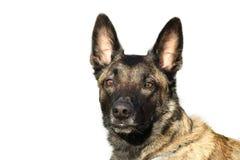 Сторона чабана Malinois собаки бельгийского с внимательным взглядом на белой предпосылке Стоковое фото RF