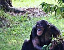 Сторона шимпанзе Стоковое Изображение RF