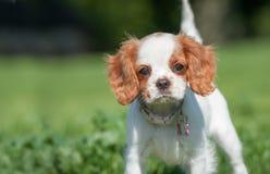 Сторона щенка Spaniel стоковое изображение