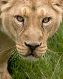 Сторона львицы Стоковое Фото