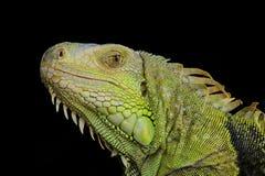 Сторона ящерицы Стоковое Фото