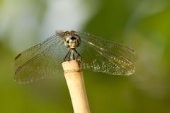 Сторона Dragonfly Стоковая Фотография RF