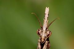 Сторона Mantis Стоковая Фотография RF