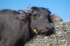 сторона s азиатского буйвола Стоковые Изображения